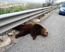 Stefano, l'esemplare di orso marsicano, ucciso senza un perché