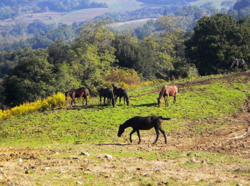 A Montaione i cavalli maltrattati tornano felici