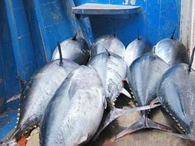 Pesca fuorilegge ad Amalfi: sequestrati 2 quintali di tonno novello