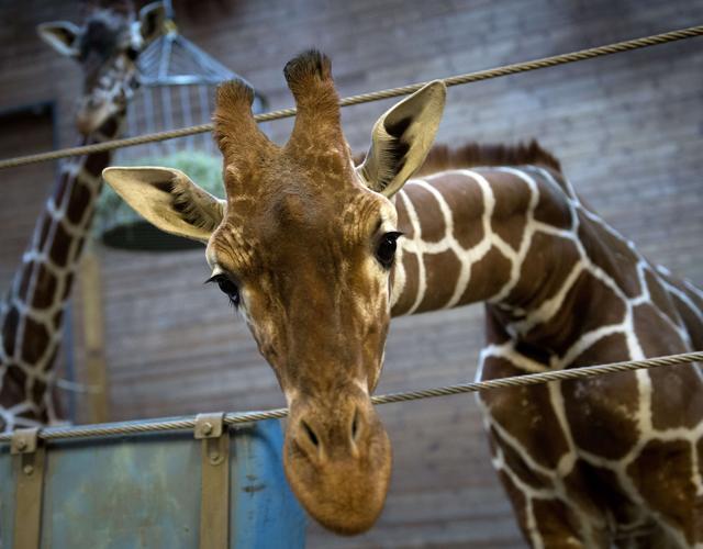 Copenaghen choc. Marius, cucciolo di Giraffa ucciso e dato in pasto ai leoni in uno zoo
