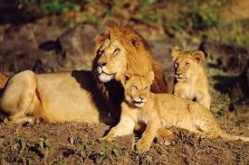 Zoo di Copenaghen: dopo Marius sgomento per l'uccisione di quattro leoni