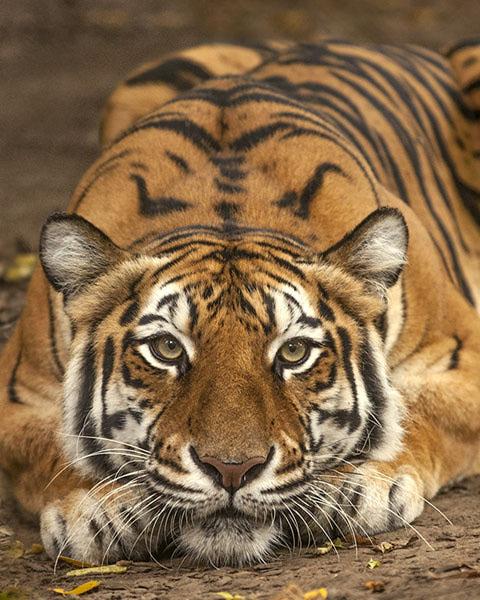 Tigre fugge da circo, ma viene catturata a San Giuseppe Vesuviano