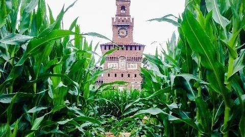 Un campo di mais nell'area Expo Gate di fronte al Castello Sforzesco