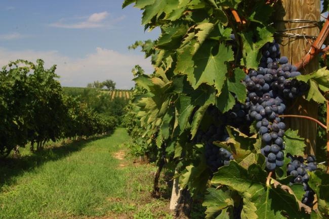 Rettifica notizia sequestro vino Montepulciano