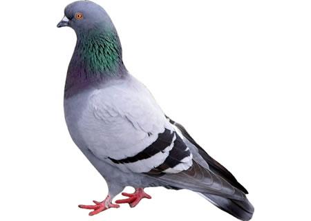 Artigiano genovese processato e assolto per aver ucciso un piccione