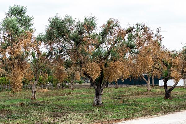 Xylella, manifestazione contro l'abbattimento degli ulivi salentini