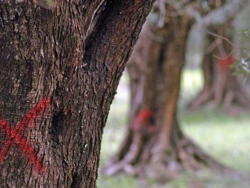 Xylella, l'Ue impone misure drastiche. Protesta dei Comitati a difesa degli ulivi