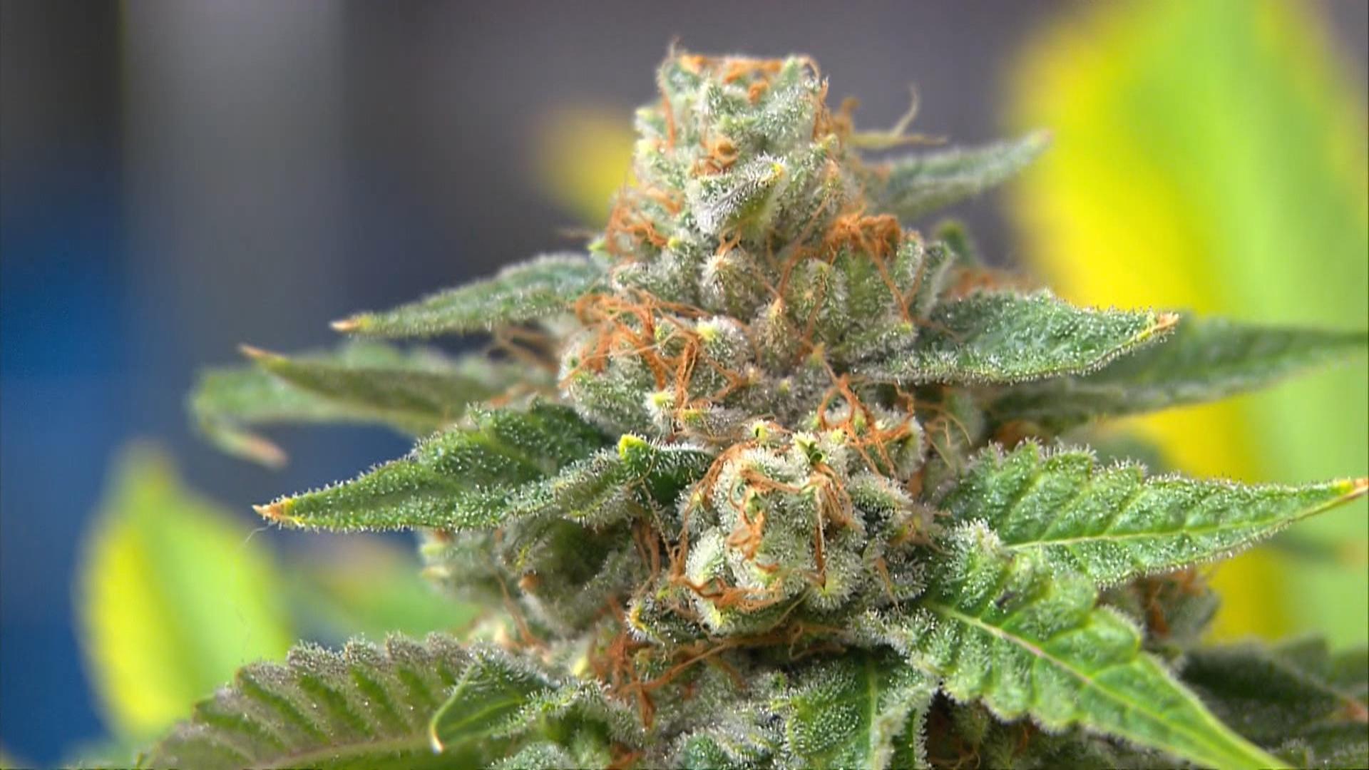 Marijuana medica, a giugno le prime dosi 'made in Italy'
