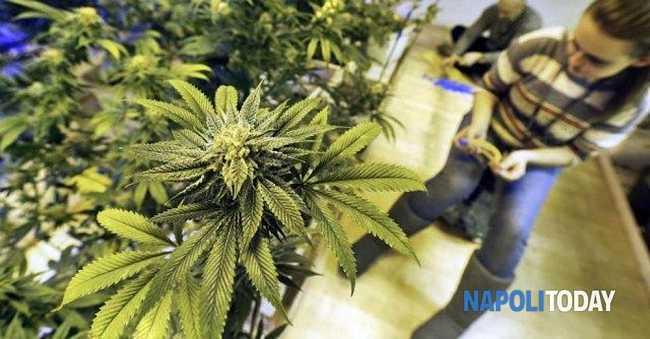 Legalizzazione della cannabis: proibire non serve, è necessario guidare