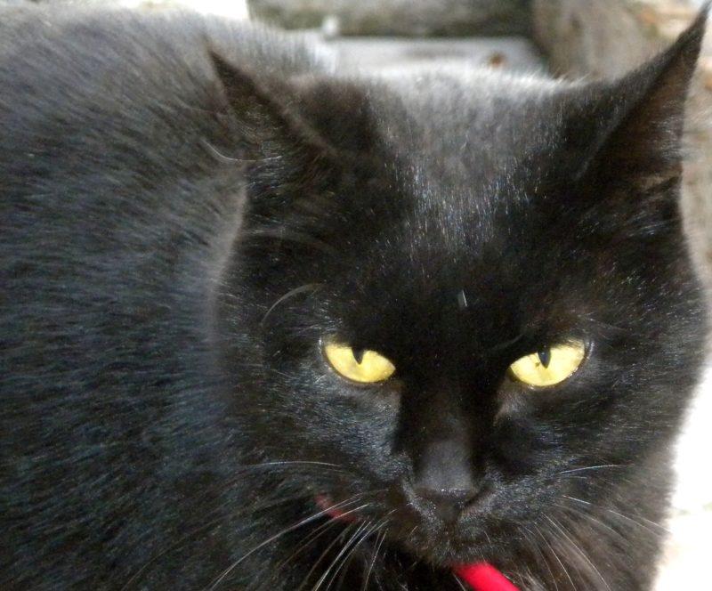 Il gatto nero è una pantera in miniatura. Incontrarlo porta sfortuna ? Dipende. La credenza popolare è radicata in Italia,  in Spagna, negli Stati Uniti e in Cina. Invece In Scozia, Giappone e Inghilterra il felino nero è simbolo di prosperità. Nell'antico Egitto incarnava la perfezione assoluta ed era considerato una rarità preziosa. Foto di Cinzia Albertoni
