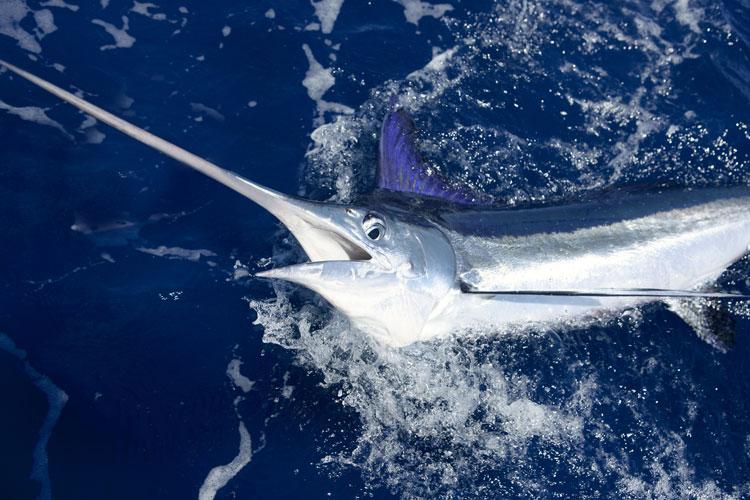 L'Ue protegge il pesce spada, ma l'Italia respinge le quote di pesca