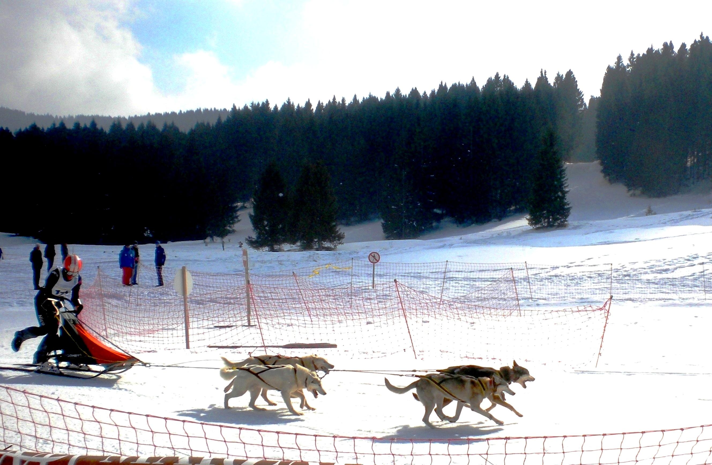 """Lo sleddog è un mezzo di trasporto nato nel Grande Nord prima dell'avvento delle motoslitte. Gli utilizzatori furono gli Esquimesi, gli Indiani e i cercatori d'oro.  Oggi è divenuto uno sport invernale dove i veri atleti sono i fortissimi cani da slitta: i Siberian Husky, gli Alaskan Malamute, i Groenlandesi e i Samoiedo.  I """"Double Leader"""" sono i cani di testa che comprendono i comandi e danno l'andatura al resto del team.  Gli """"Wheel Dogs"""", immediatamente davanti alla slitta, sono i più robusti perché su di loro grava buona parte del peso da trainare.  Foto di Cinzia  Albertoni"""